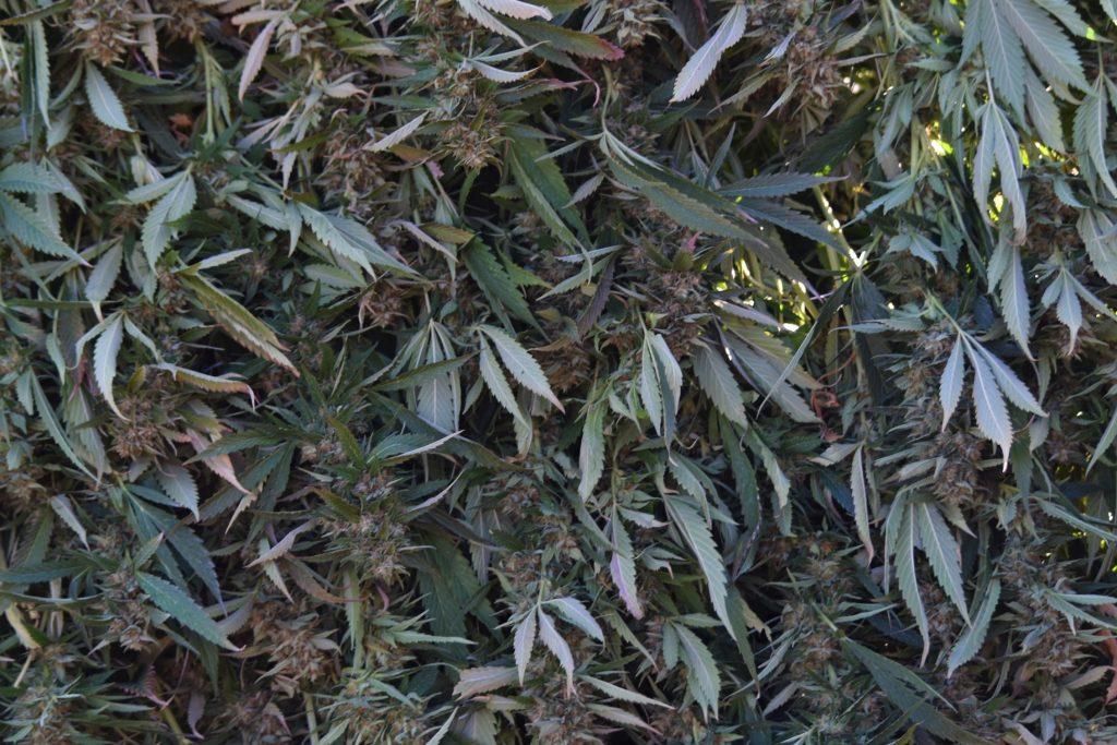 AVO Cannabis flowers